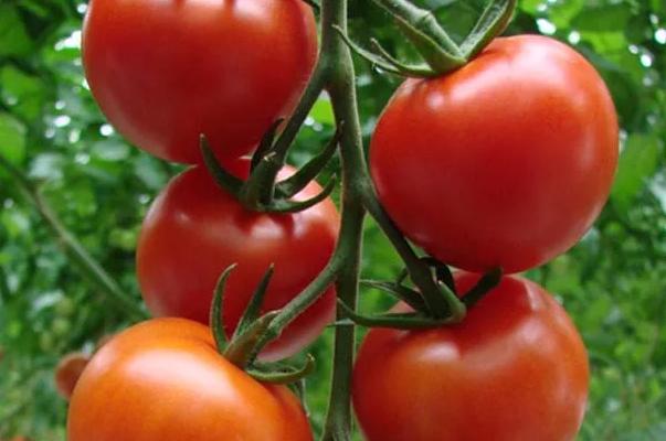 популярные сорта томатов для теплиц в сибири