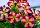 Когда сеять (сажать) петунию на рассаду в 2019 году? Хитрости посева семян петунии в домашних условиях