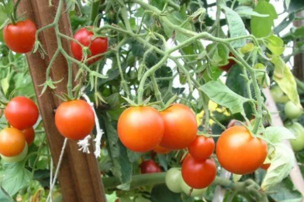 Крайний Север самый холодостойкий сорт томатов