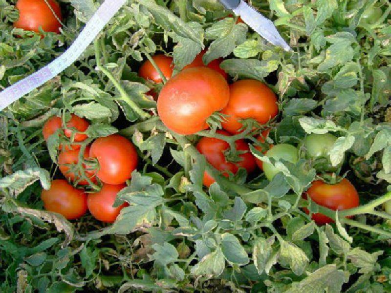 Низкорослые помидоры лучшие сорта для открытого грунта какие выбрать