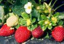 Подкормка для клубники (виктории) весной для большого урожая