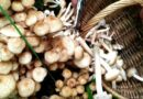 Опята в сметане на сковороде — рецепты жареных грибов со сметаной