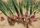 Лук-шалот из семян — выращивание и уход в открытом грунте