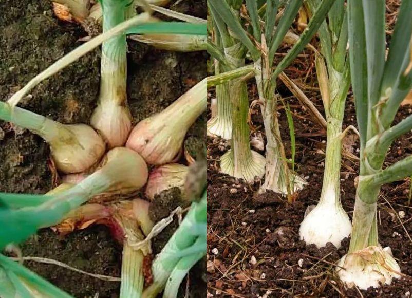 лук шалот выращивание и уход в открытом